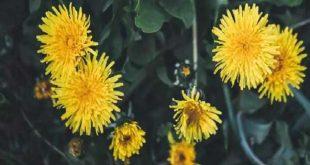 Manfaat Tak Terduga Gulma Dandelion untuk Kesehatan – Bisnis.com